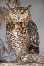 Eagle_Owl_face