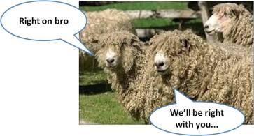 sheep9